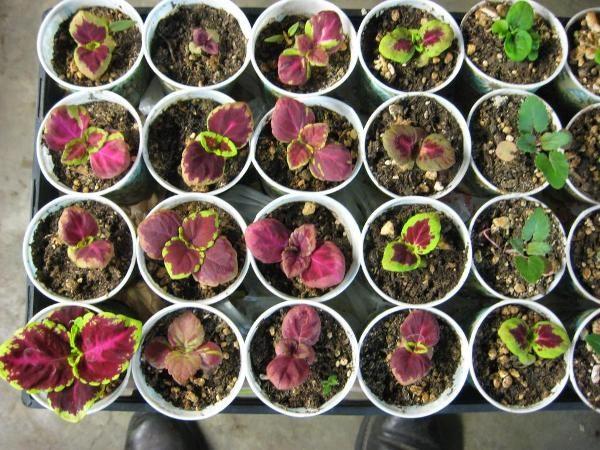 Маленькие растения после пикировки.