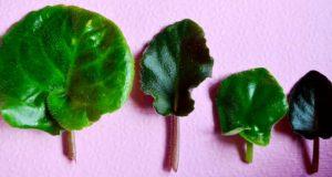 Свежесрезанные листья для укоренения