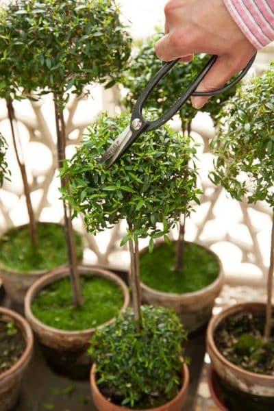 Методика обрезки верхних листьев миртового дерева.