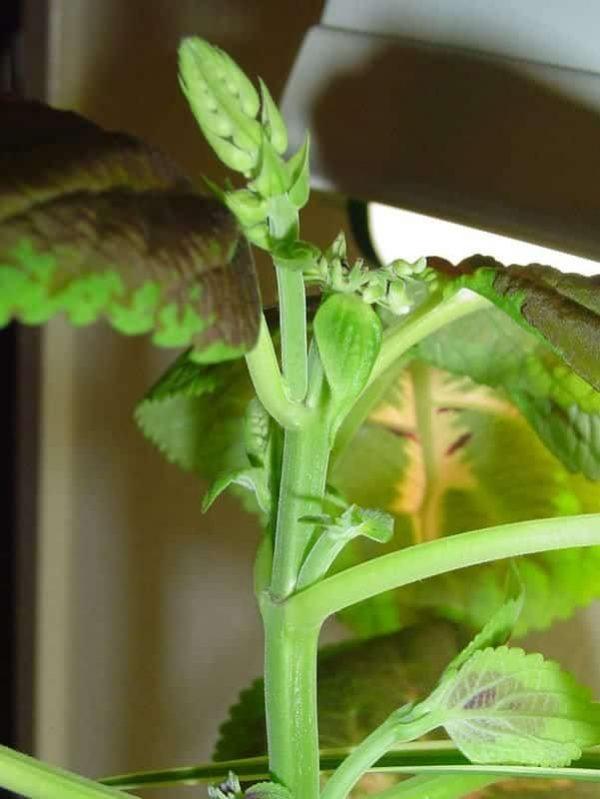 Растение привлекательно окрасом своих листьев.