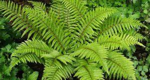 Зеленый куст дикорастущего папоротника.