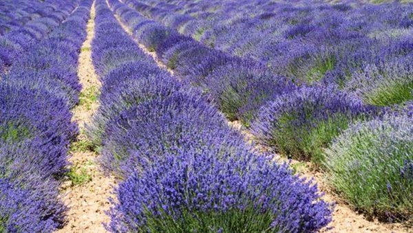 Плантация цветущих лавандовых кустов.