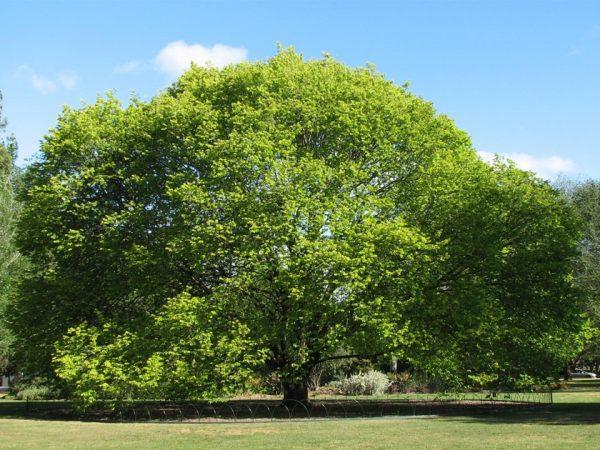 Зеленое раскидистое дерево.