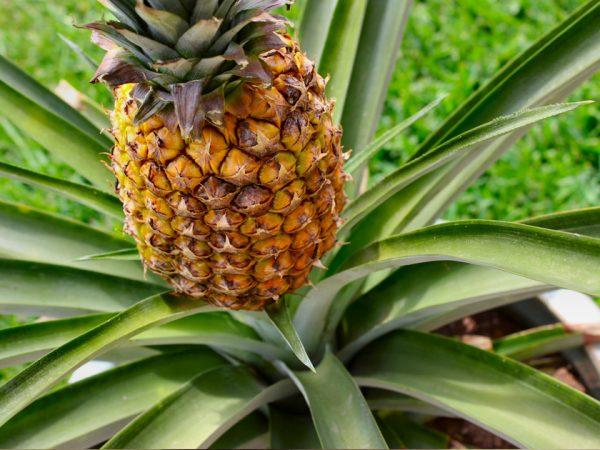 На иллюстрации изображено растение с развитым плодом