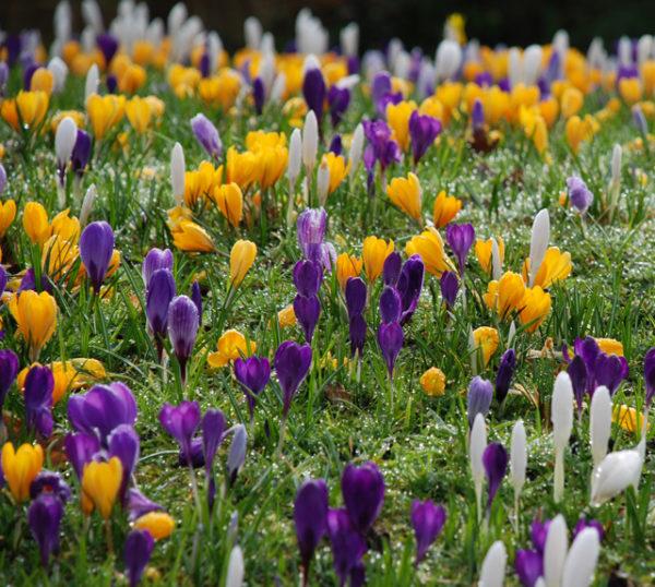 Цветущие белые, желтые и фиолетовые крокусы.