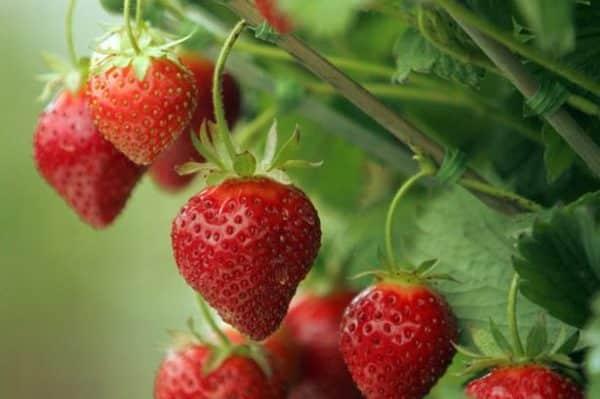Крупные красные ягоды спелой клубники