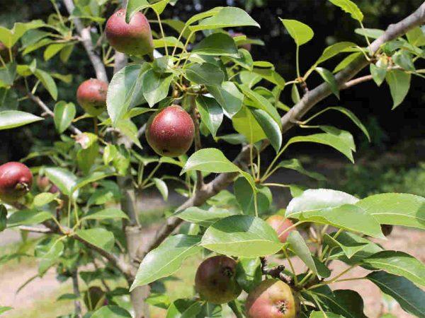 """На иллюстрации - фотография поспевающих плодов """"Лесной красавицы"""""""