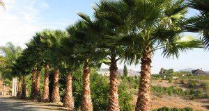 Высокие пальмы вашингтонии в природе