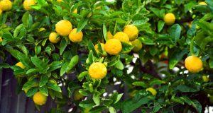 Большой куст лимонного дерева с плодами.