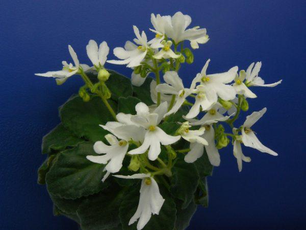 «Lunar Lily White»