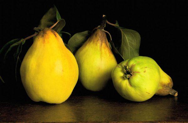 Желтые спелые плоды айвы.