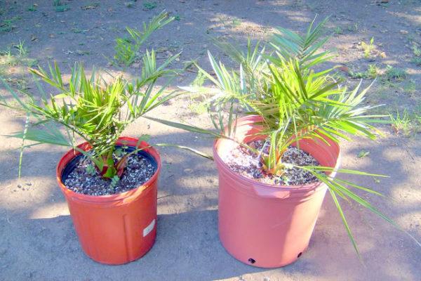 Пересадка финиковой пальмы в горшок большего размера.