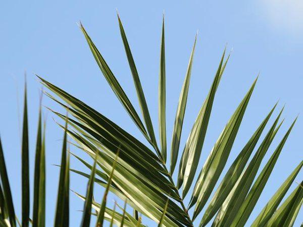 Перистый лист финиковой пальмы.