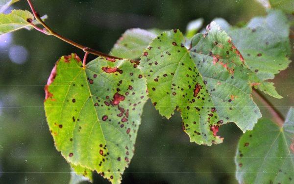 Пятнистость на липовых листьях.