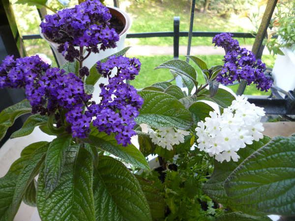 Растение может цвести как фиолетовыми, так и белыми цветами.