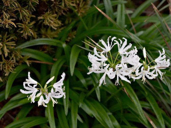 Цветок с лепестками белого цвета