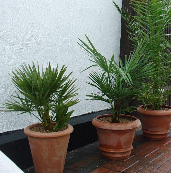 Финиковые пальмы в горшках.