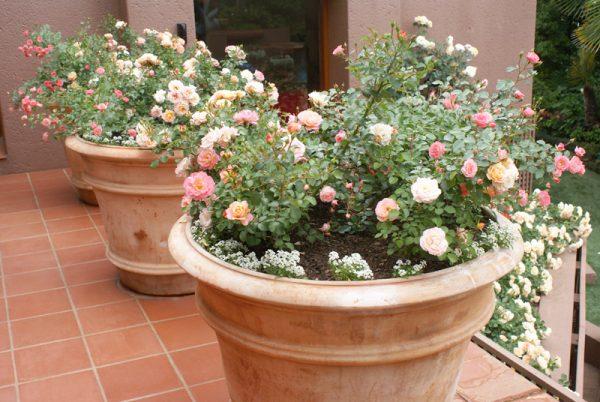 Розы можно и нужно выносить на улицу в теплое время