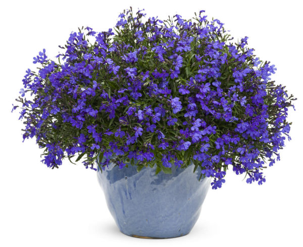 Цветок лобелия фото цветов