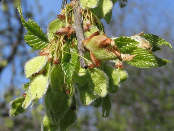 Плодоносящее дерево в конце лета
