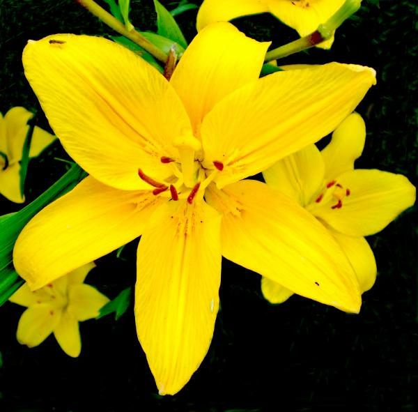 Яркий желтый цветок лилии.