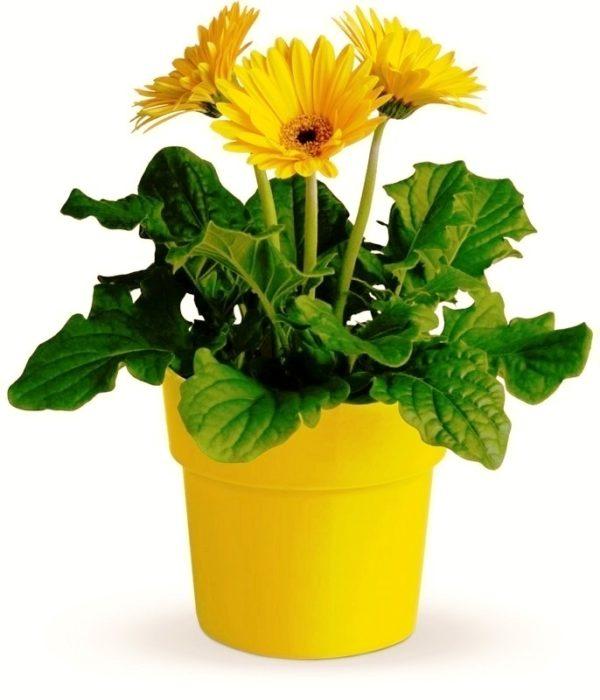 Комнатное растение в контейнере.