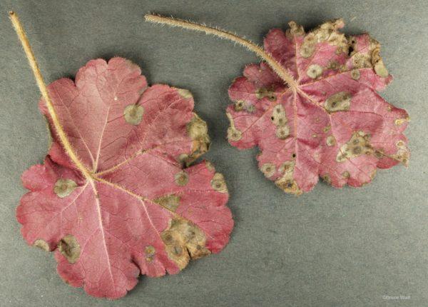 Листья с характерными пятнами.