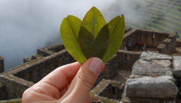 Зеленые листья культуры.