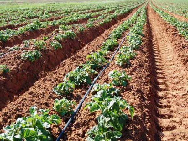 Окучивание картофеля благотворно влияет на урожайность.
