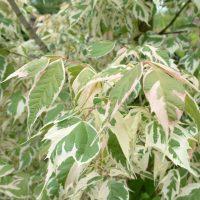 """Разноцветные листья сорта """"Вариегата""""."""