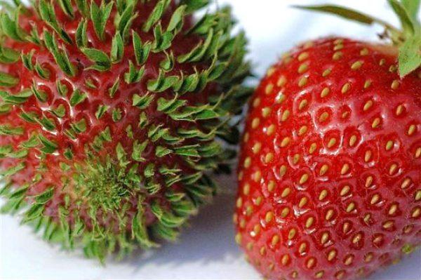 Способность к прорастанию клубничных семян на ягоде положена в основу способа по получению рассады.