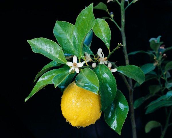 Цветущее лимонное дерево.