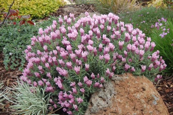 Цветущий куст лаванды с нежно-розовыми соцветиями.