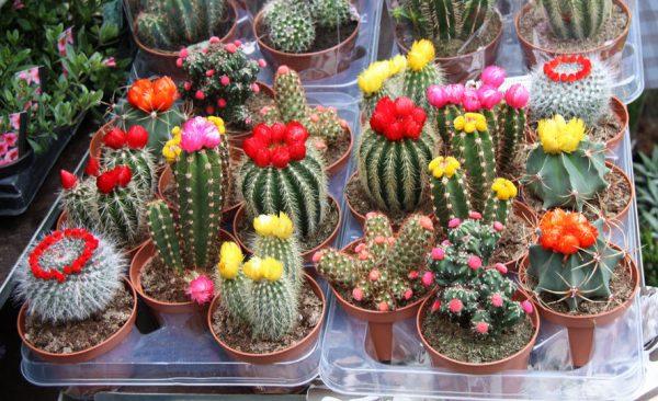 видовые кактусы цветут