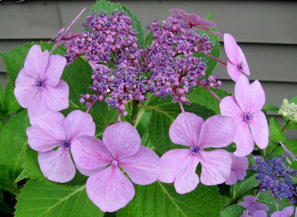 фиолетовая цветки