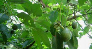 На ветках авокадо созревают тяжелые густо-зеленые плоды с питательной мякотью.
