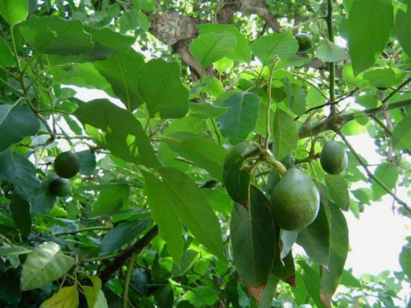 На ветках созревают тяжелые густо-зеленые плоды с питательной мякотью.