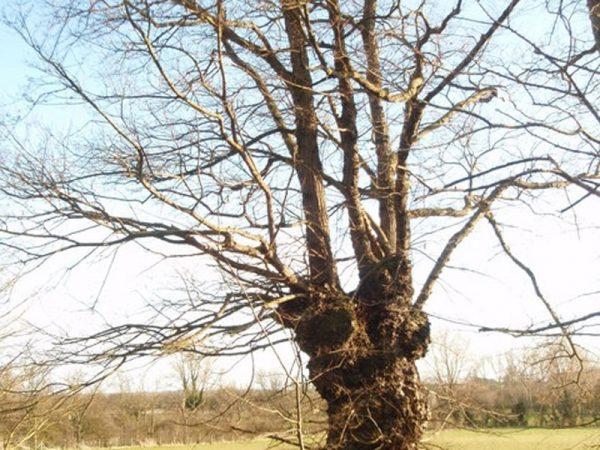 Больное дерево.