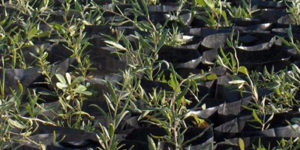 Сеянцы дерезы необходимо переваливать до высадки в открытый грунт в горшки большего объема.