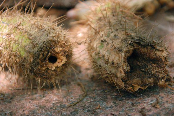 Корни кактуса сгнили