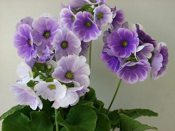 """Цветение примулы обконика обычно длится достаточно долго. Цветоносы длиной до 20 см несут целый """"букет"""" нарядных цветов."""