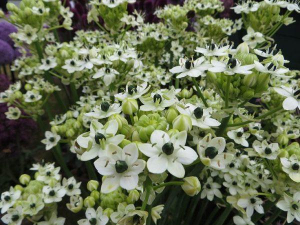Белые соцветия растения.