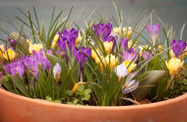 Цветущие желтые и фиолетовые крокусы в горшке