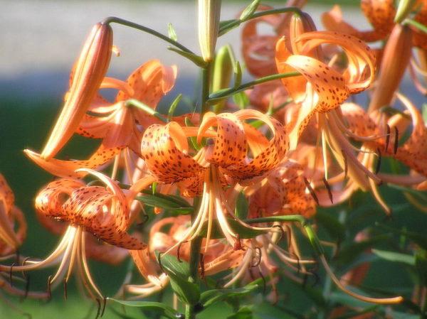 Яркие цветы тигровой лилии.