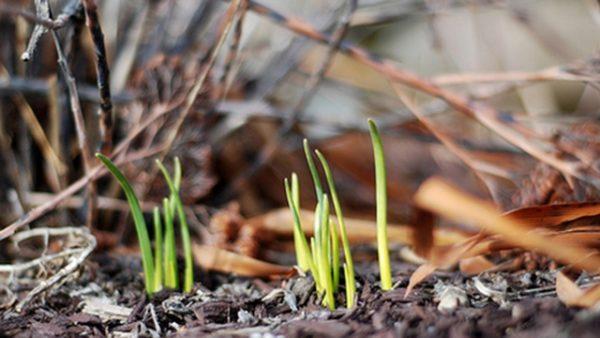 Пробившиеся из земли ростки крокусов.