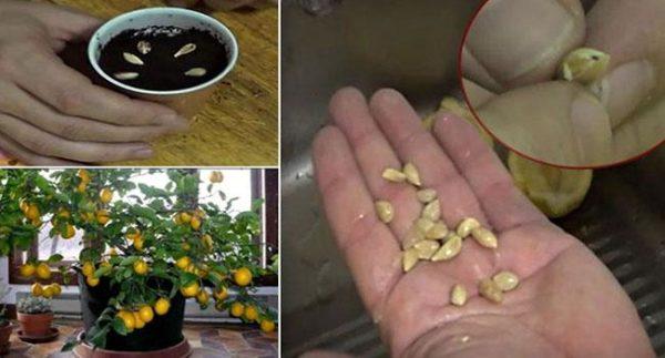 Выращивание лимонного дерева из косточек.