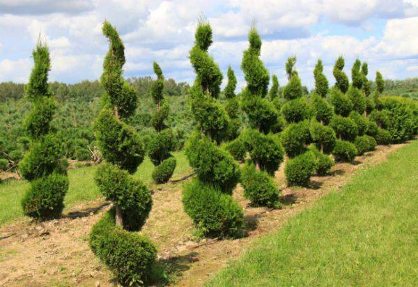 За один год невозможно придать хвойным растениям заданную форму.