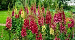 Яркие соцветия дигиталиса зацветают в июне.