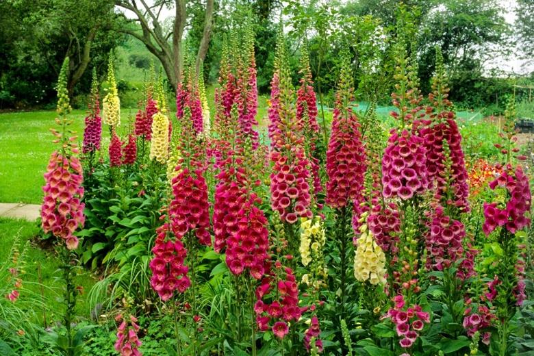 Наперстянка многолетняя: выращивание из семян, посадка и уход в открытом грунте, сорта и фото