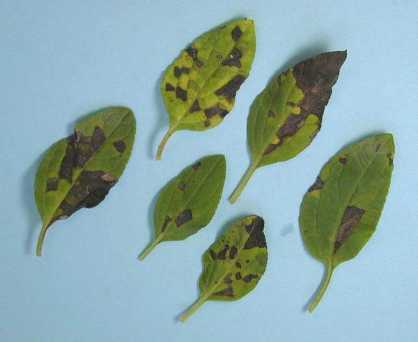Темно-бурые пятна на листьях.